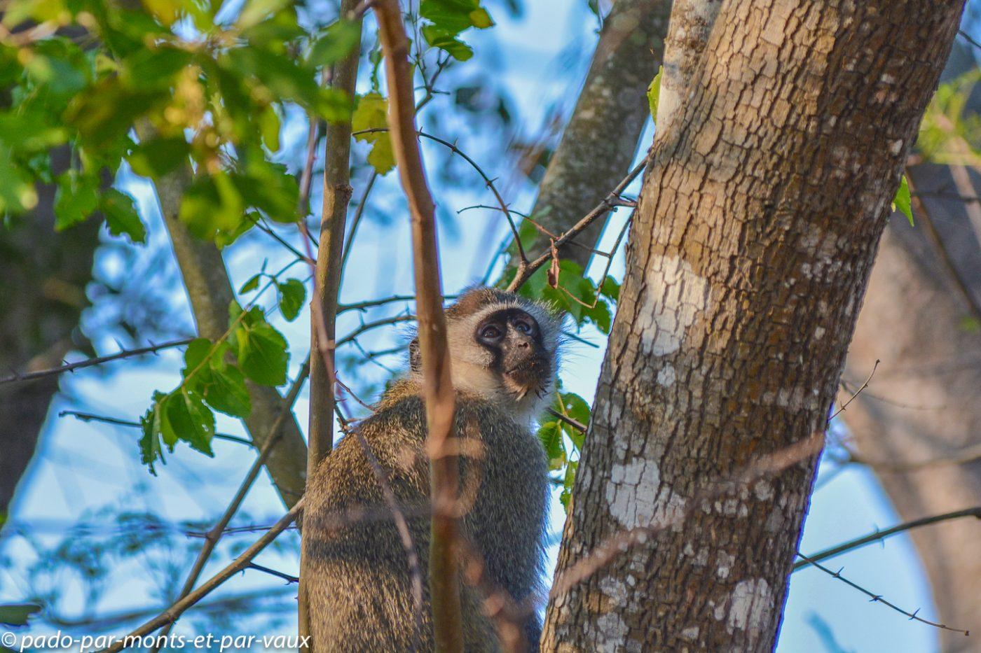 Santa Lucia Wetland park - singe vervet