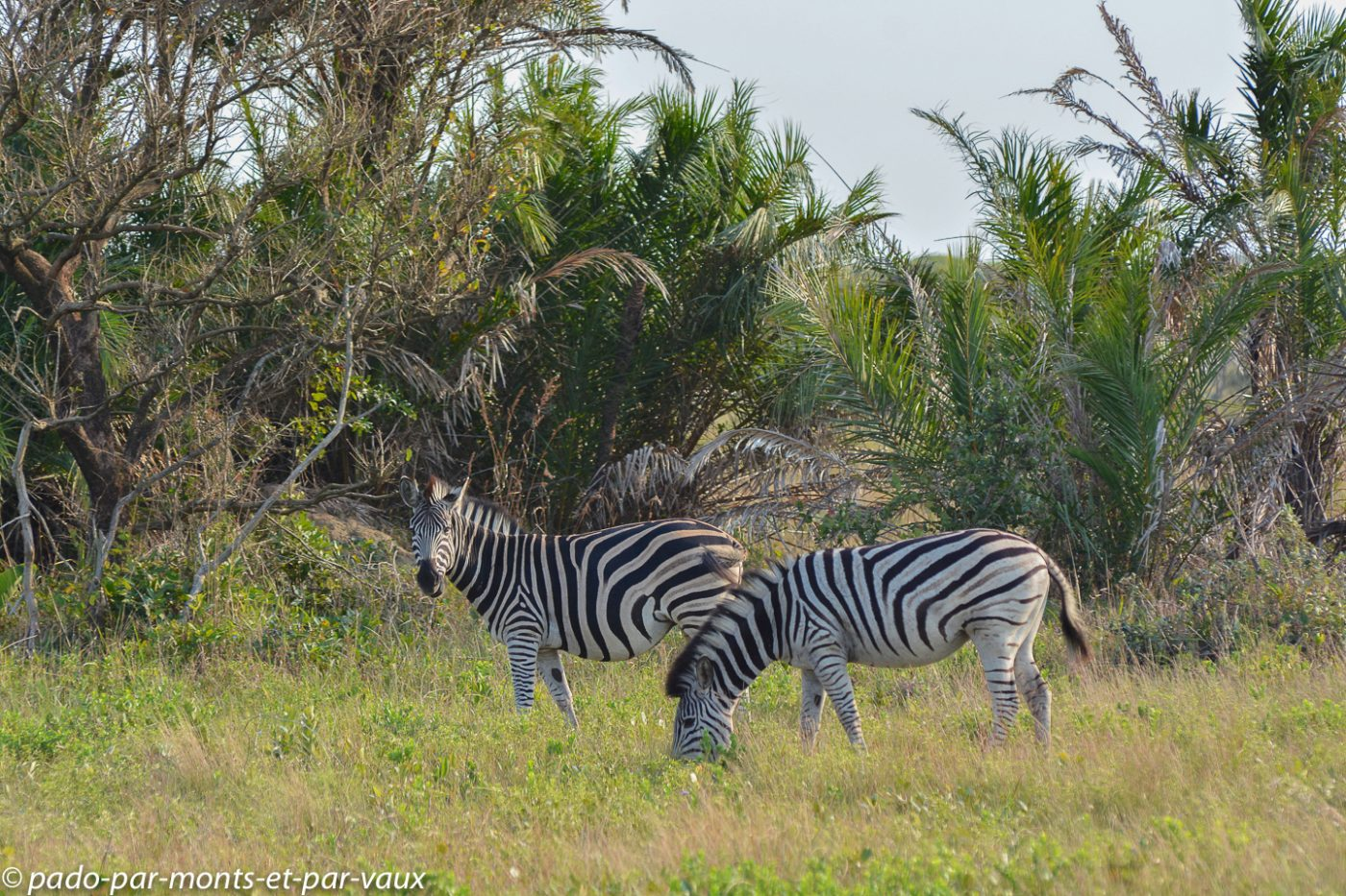 Santa Lucia Wetland park - zèbres