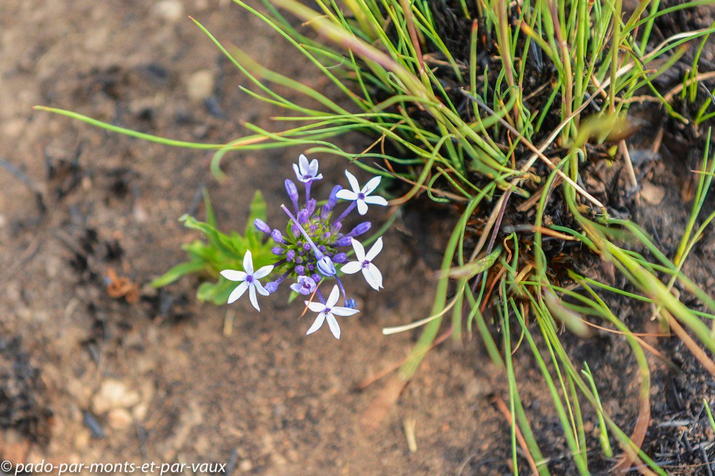Drakensberg flore