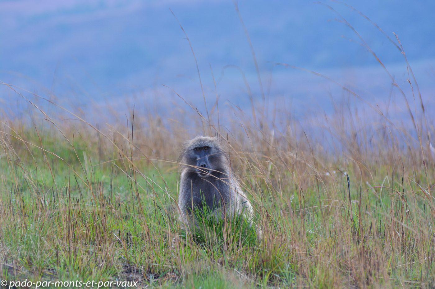 Drakensberg babouin
