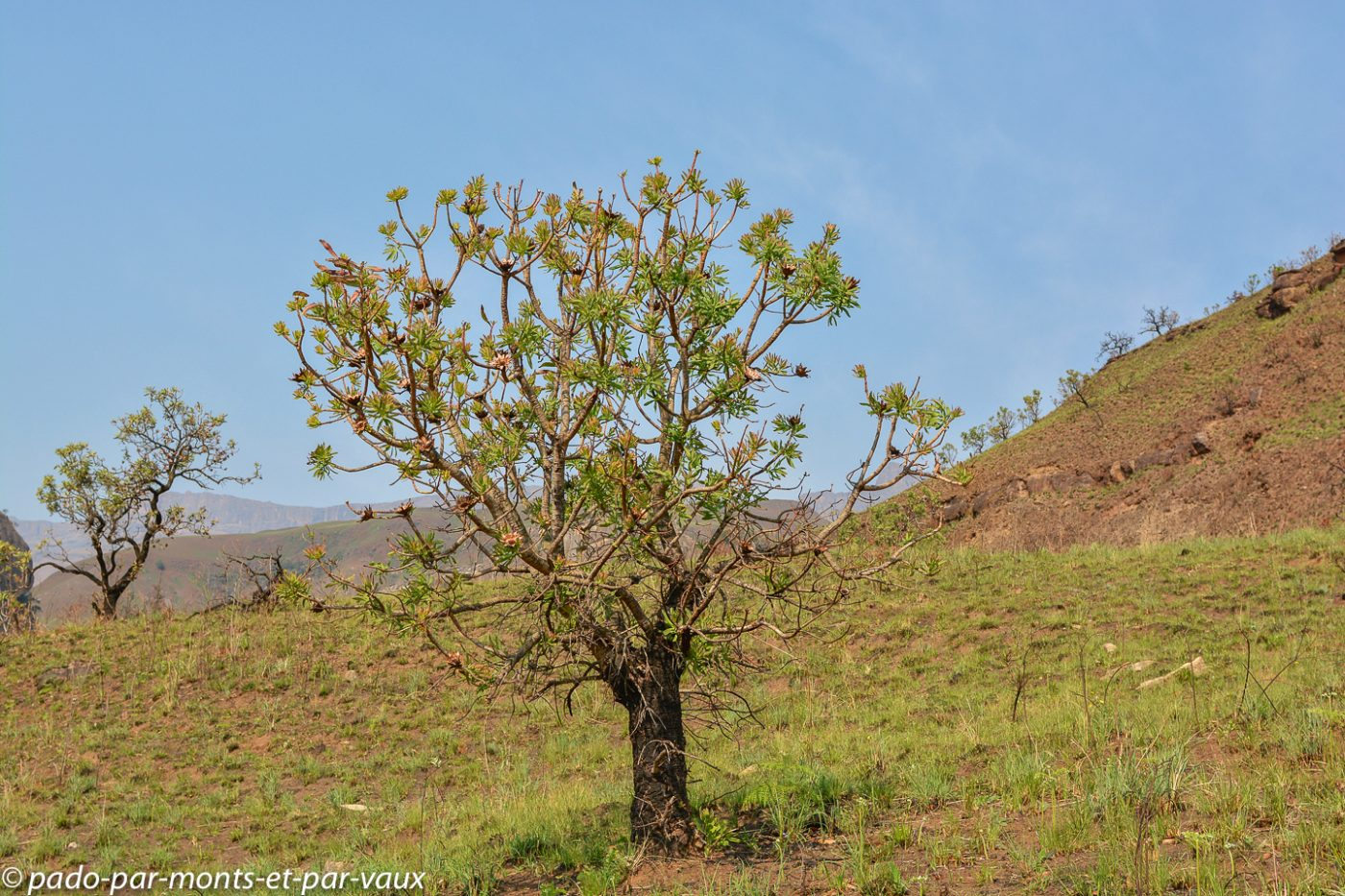 Drakensberg - protea
