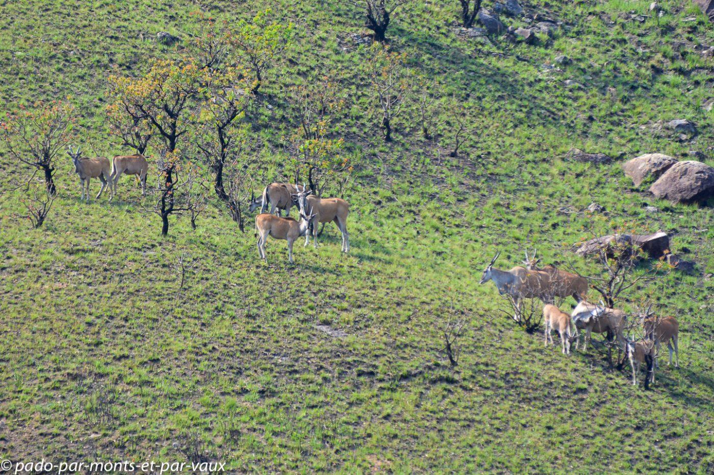 Drakensberg - élands du Cap
