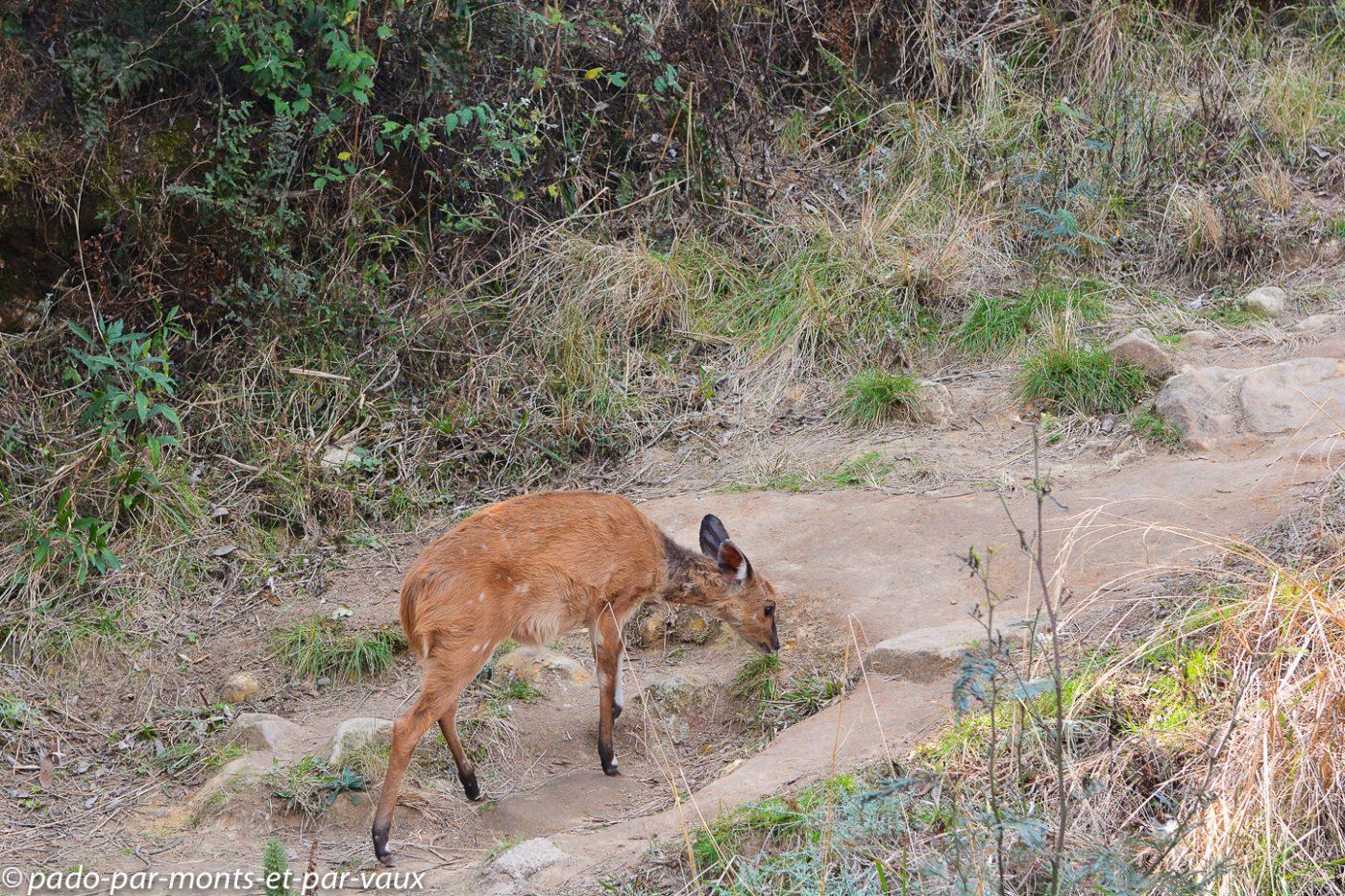 Drakensberg - Guib harnaché