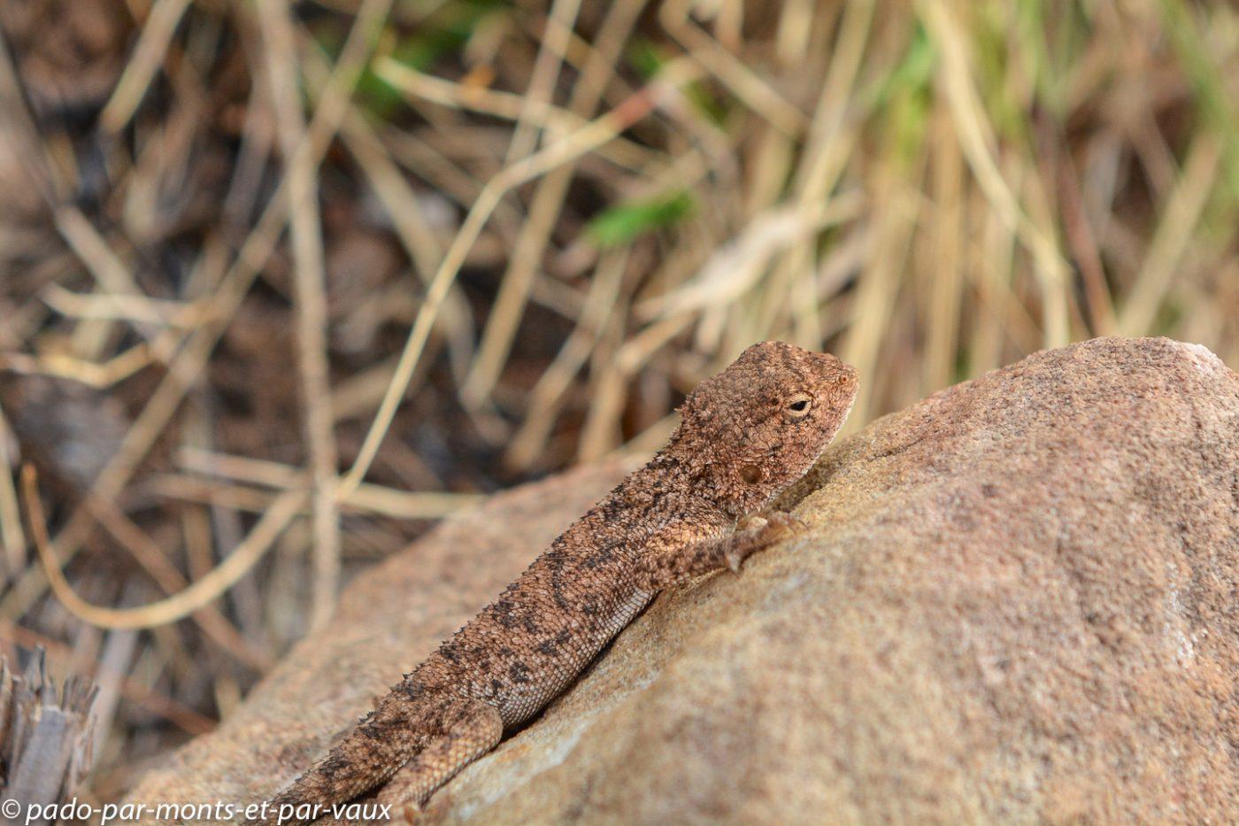 Drakensberg - Gecko