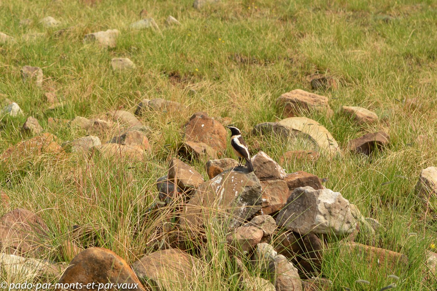 2015- Drakensberg Tarier bifascie