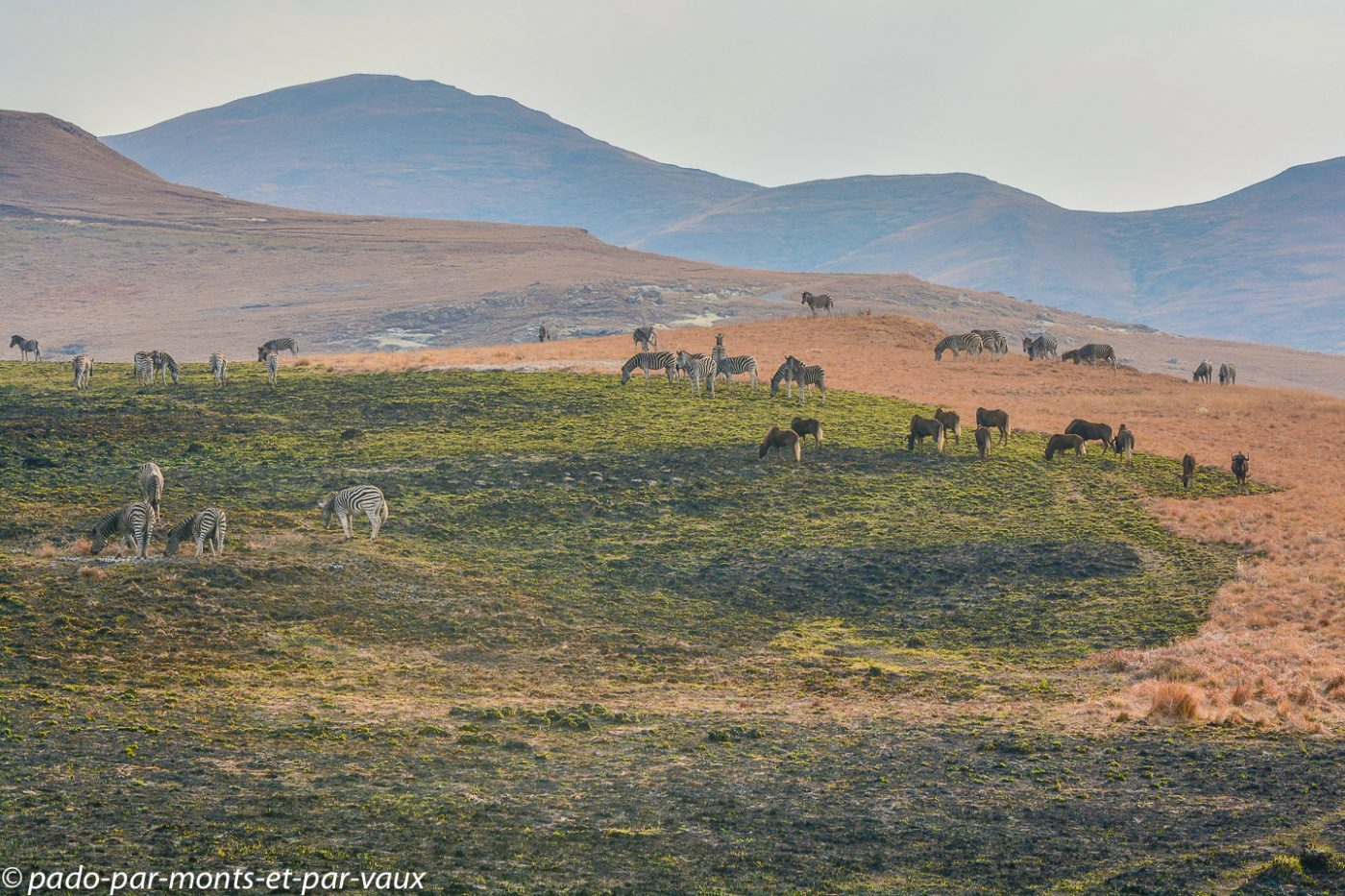 Afrique du Sud - Zèbres et gnous noirs