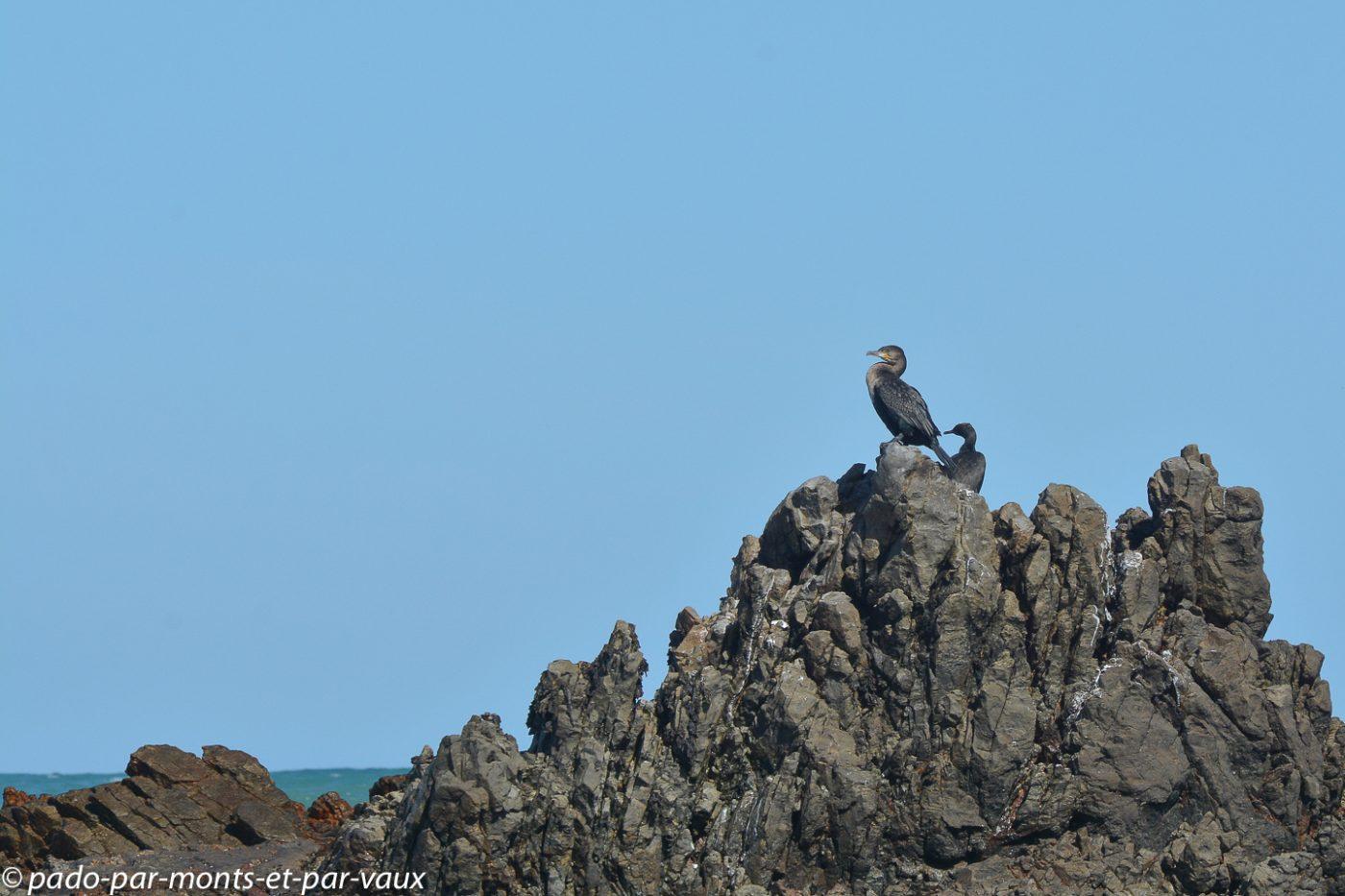 Gansbaai - Cormorans