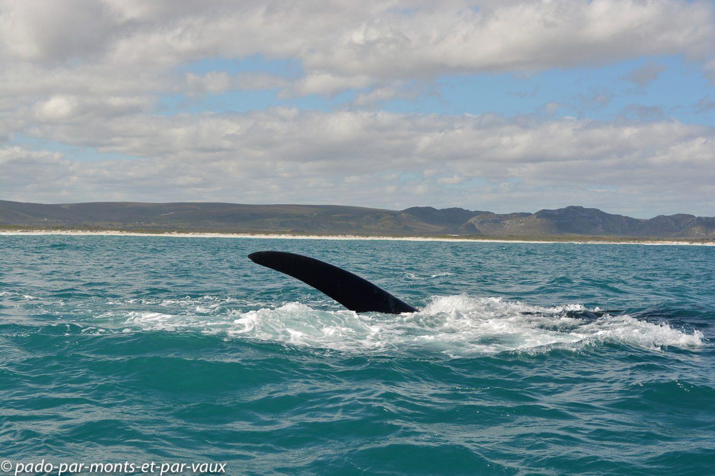 Gansbaai - Baleines franches australes