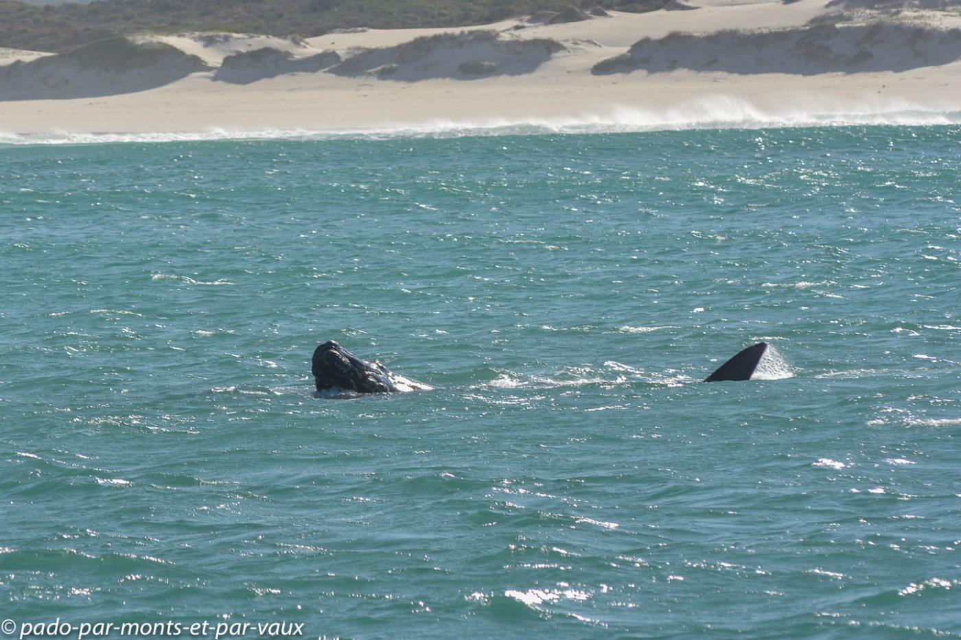 Hermanus Baleine Franche Australe