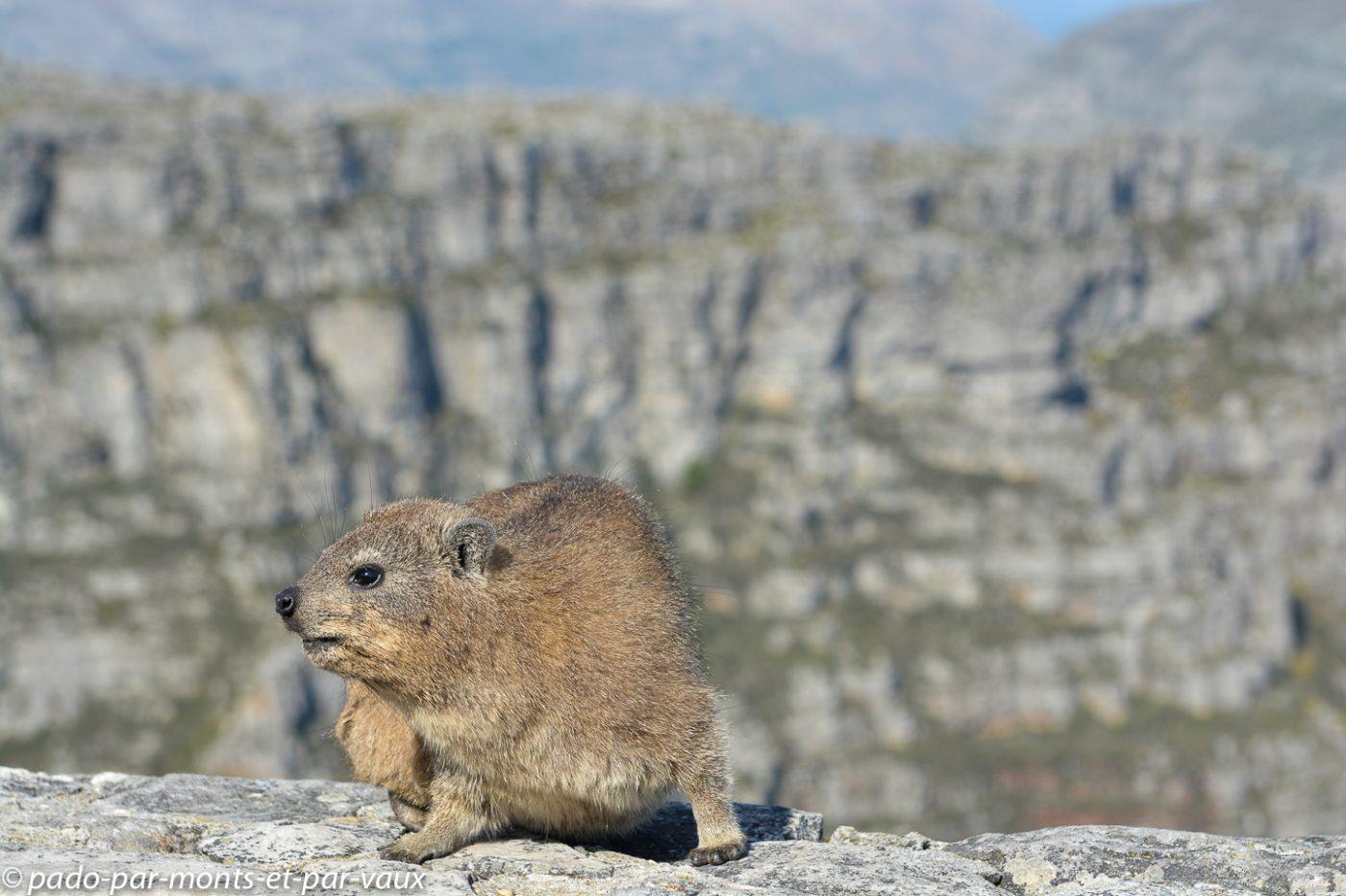 Le Cap - Table Mountain- Daman des rochers
