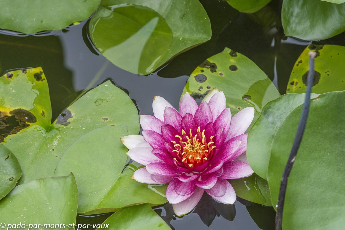 Xian - parc public - lotus sacré