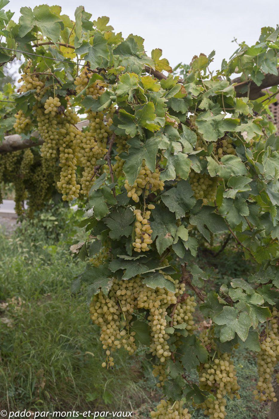 Turpan - dans les vignes