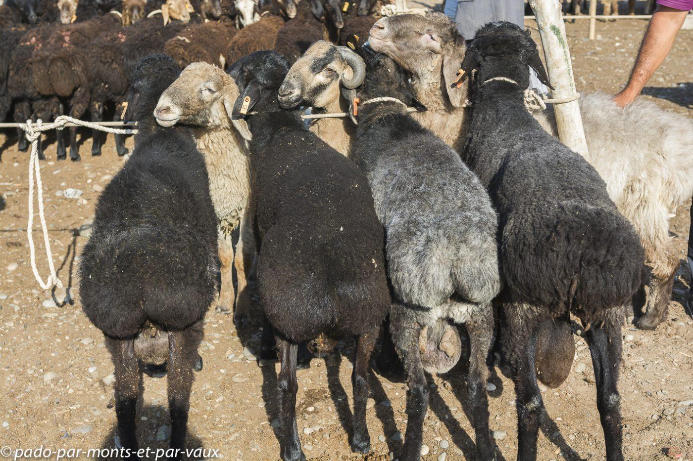 Kashgar - Marché aux bestiaux - Moutons karakul