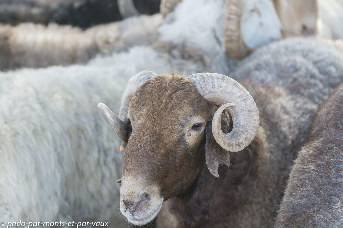 Moutons karakul