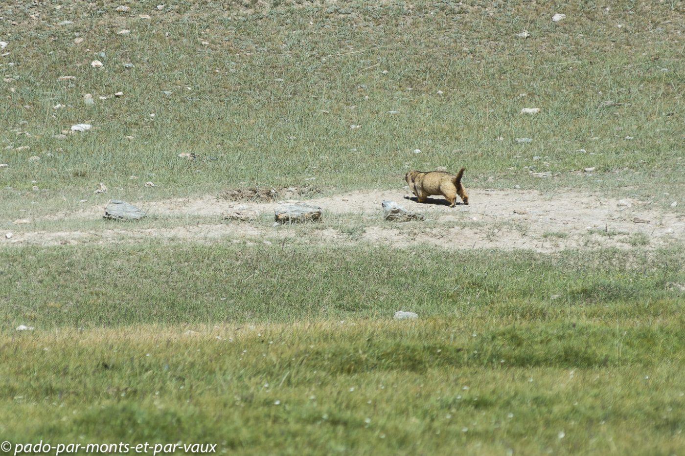 Tach Rabat - marmotte
