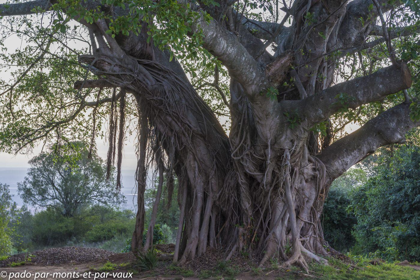 Ficus (Fig tree)