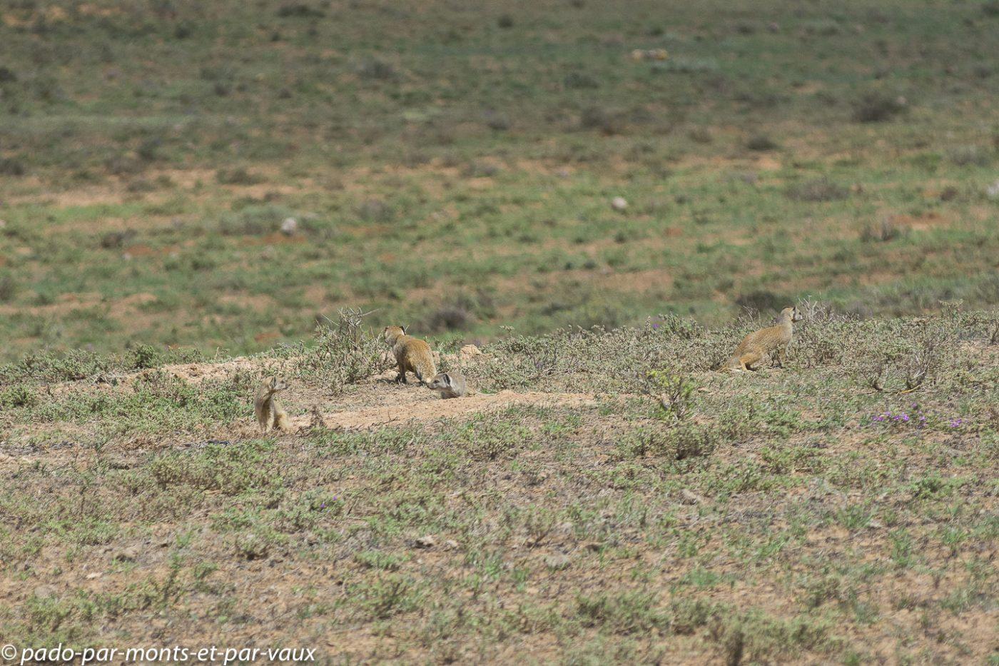 Famille de mangoustes jaunes