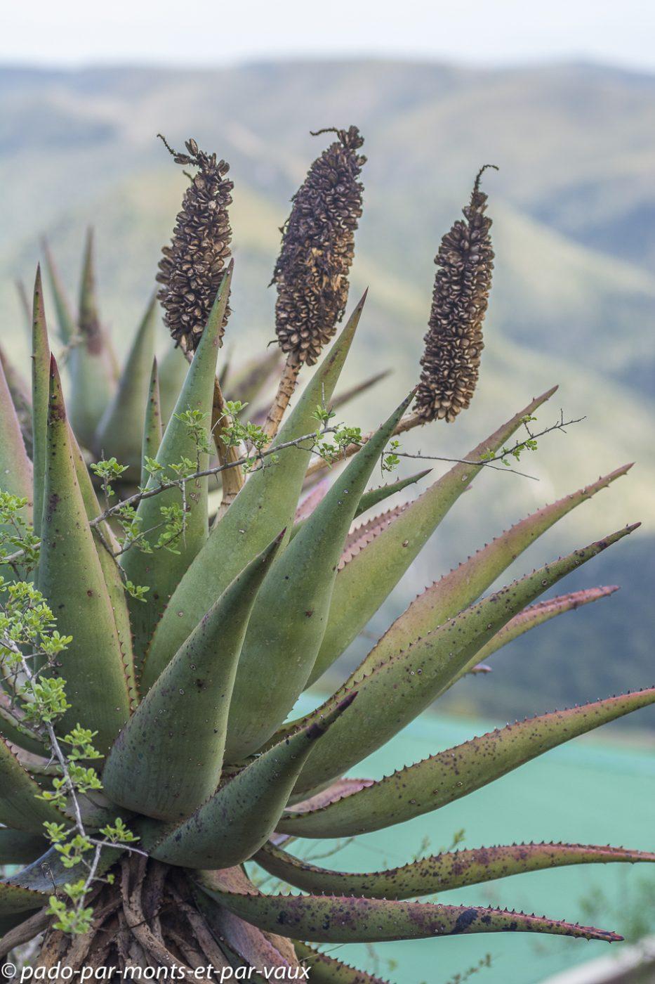 Aloes ferox