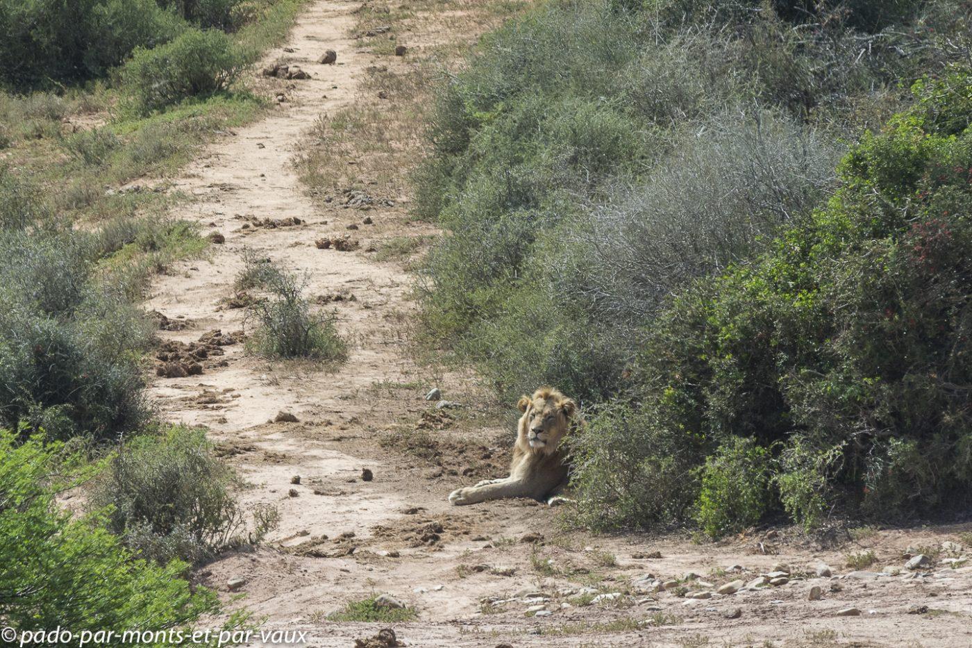 Addo Elephant NP - Lion