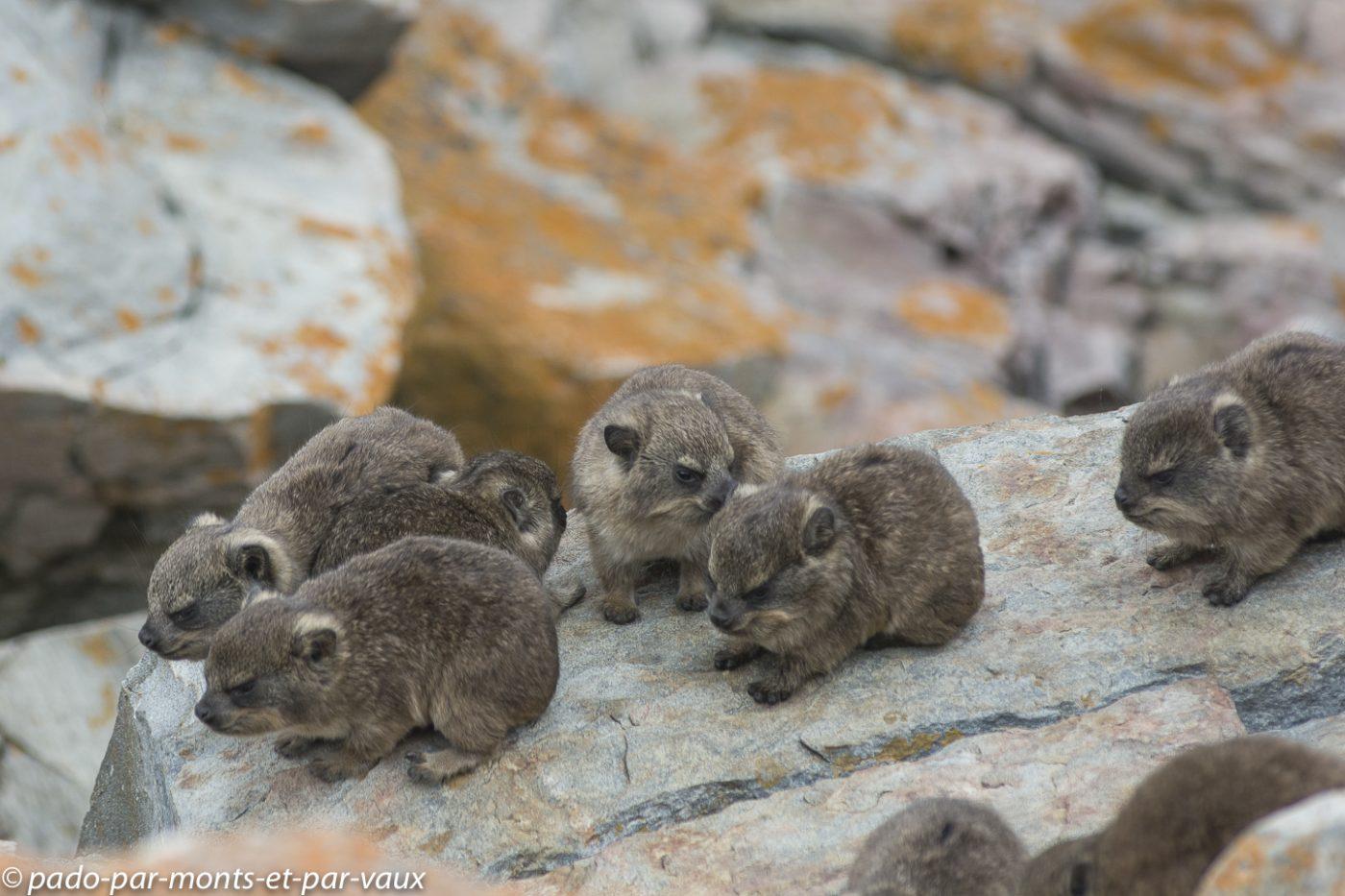 Damans des rochers