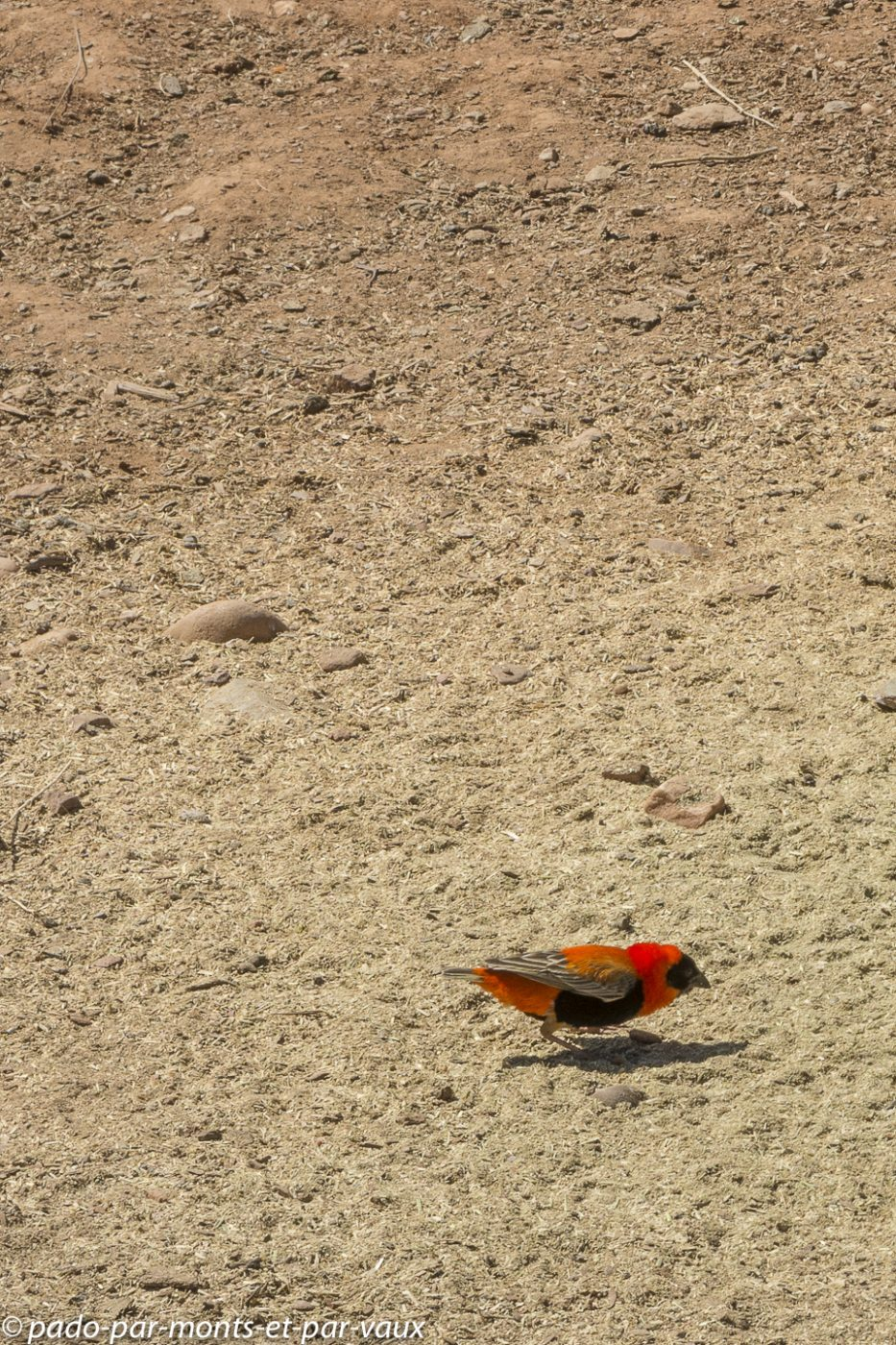 Oudtshoorn -   Red Bishop