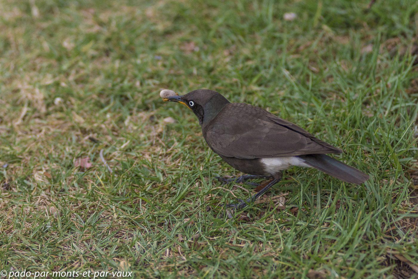 Oudtshoorn - Spréo bicolore