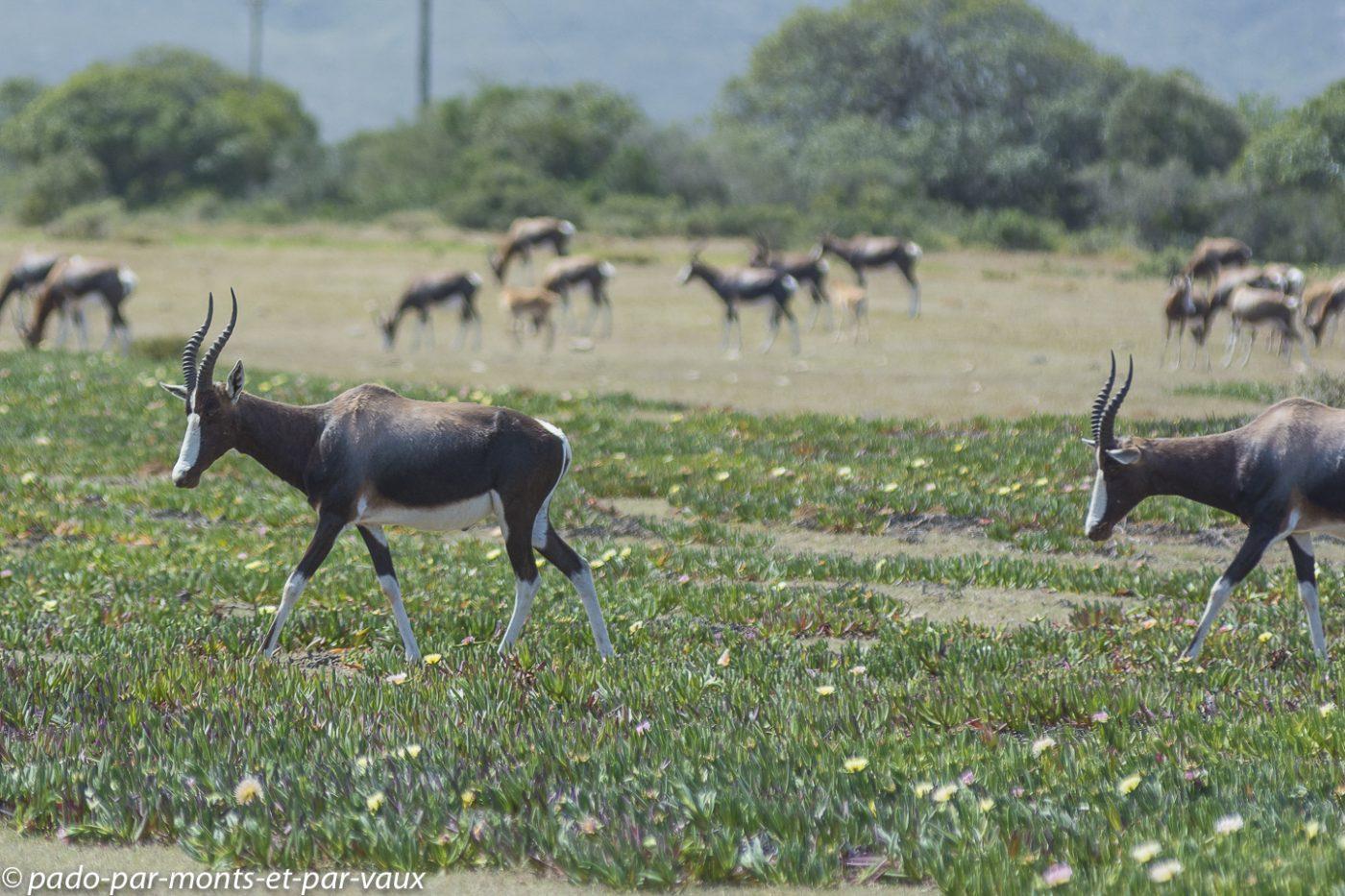 De Hoop Nature reserve - Bontebok