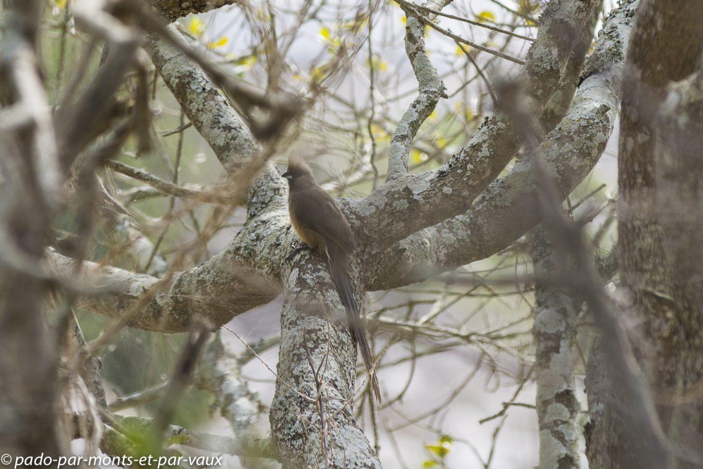 De Hoop Nature reserve - Coliou rayé
