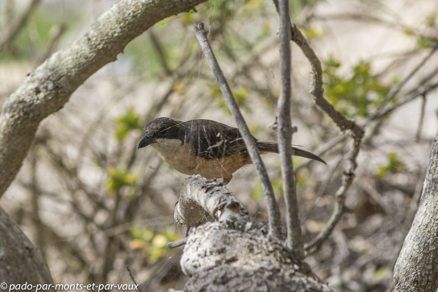 De Hoop Nature reserve -  boubou