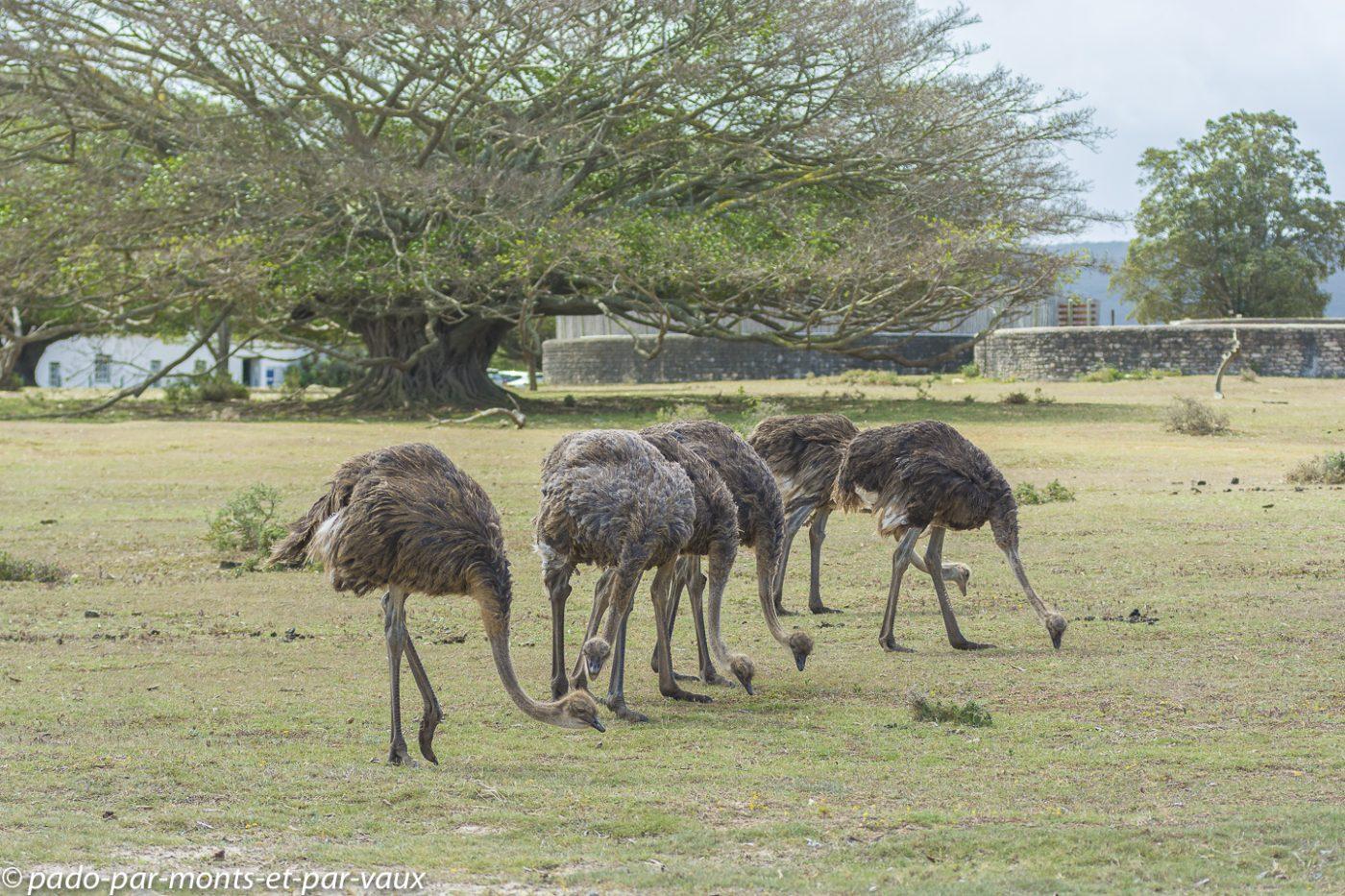 De Hoop Nature Reserve - Autruches