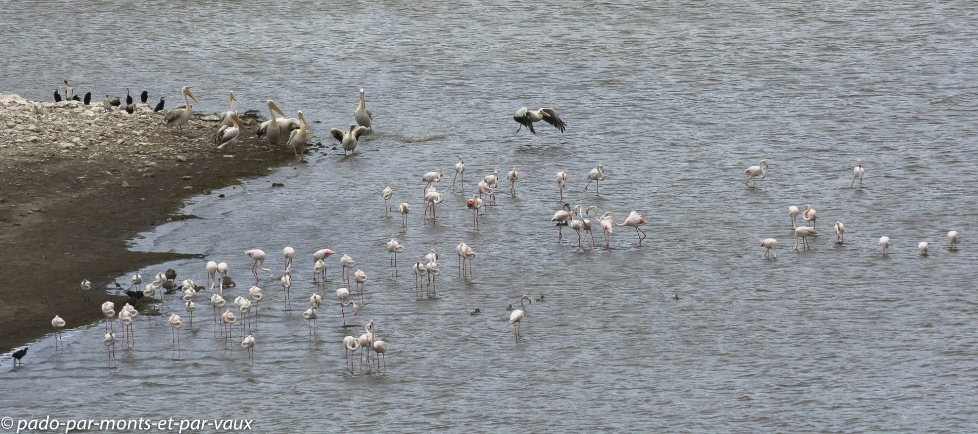De Hoop Nature Reserve - Pélican blanc et Flamants