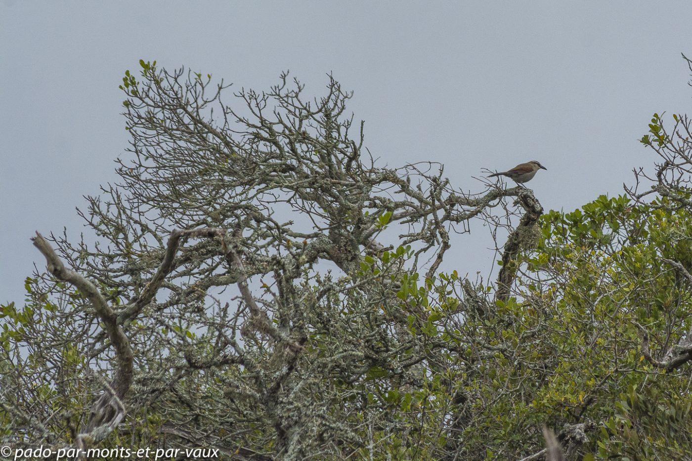 De Hoop Nature Reserve - Tchagra