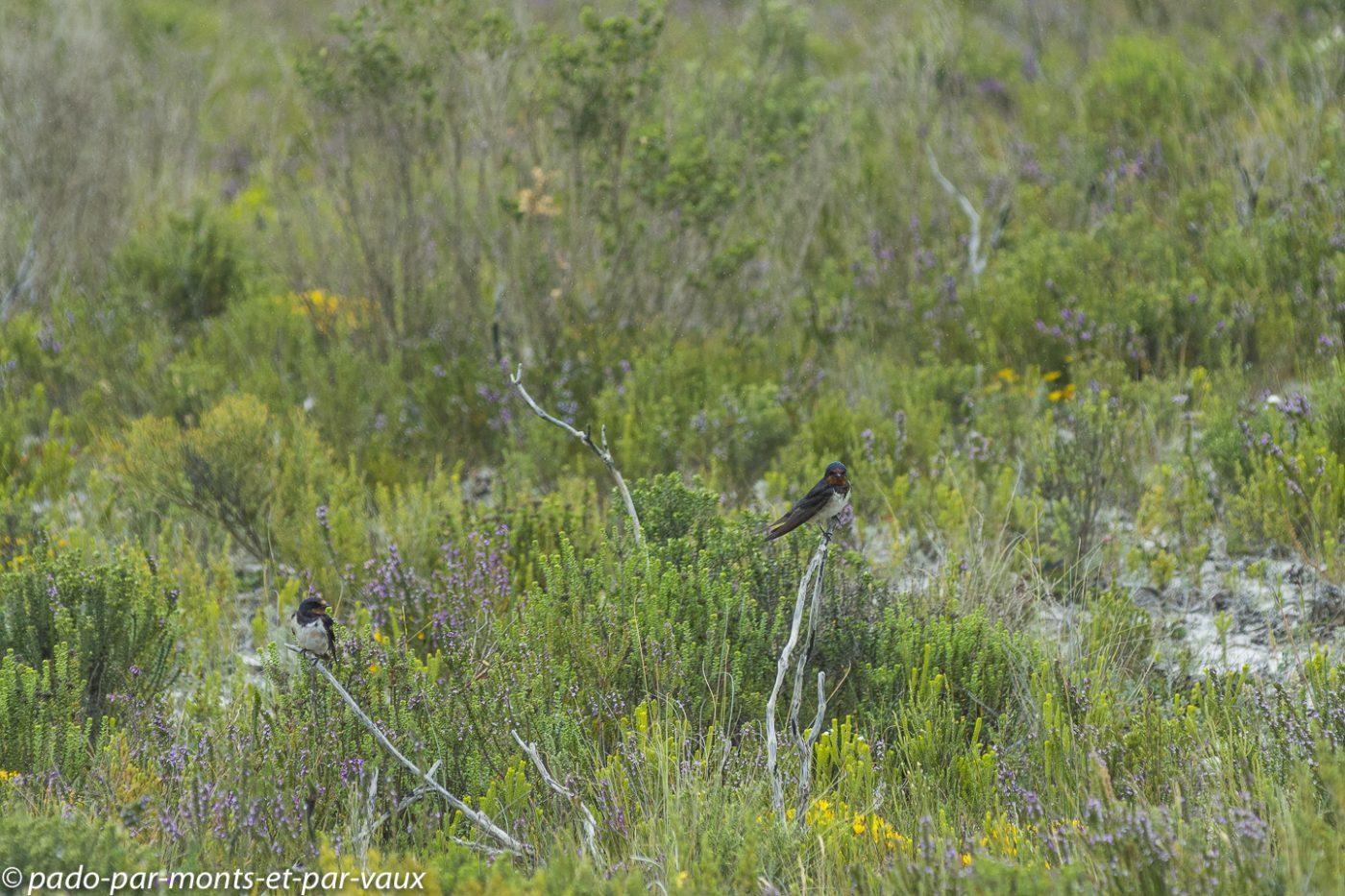 De Hoop Nature Reserve  - Hirondelles rustiques