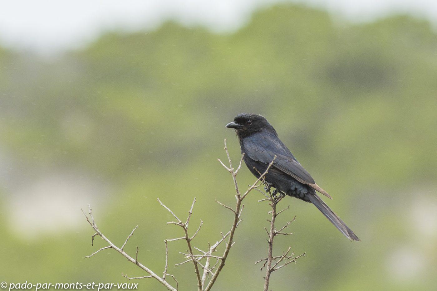 De Hoop Nature Reserve  - Drongo brillant
