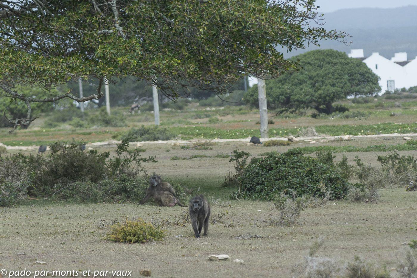 De Hoop Nature Reserve - Babouins