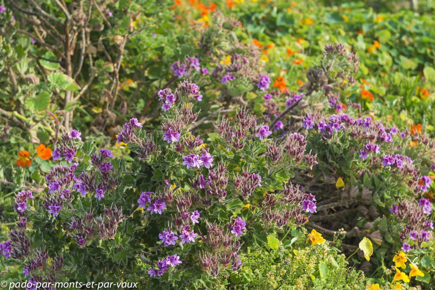 Hermanus  - Pelargonium