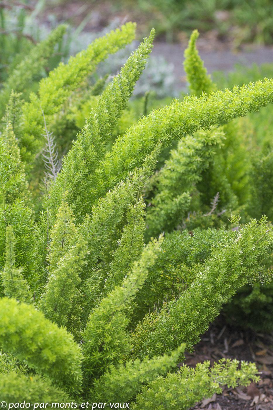 Asparagus à fleurs denses (Asparagus densiflorus)
