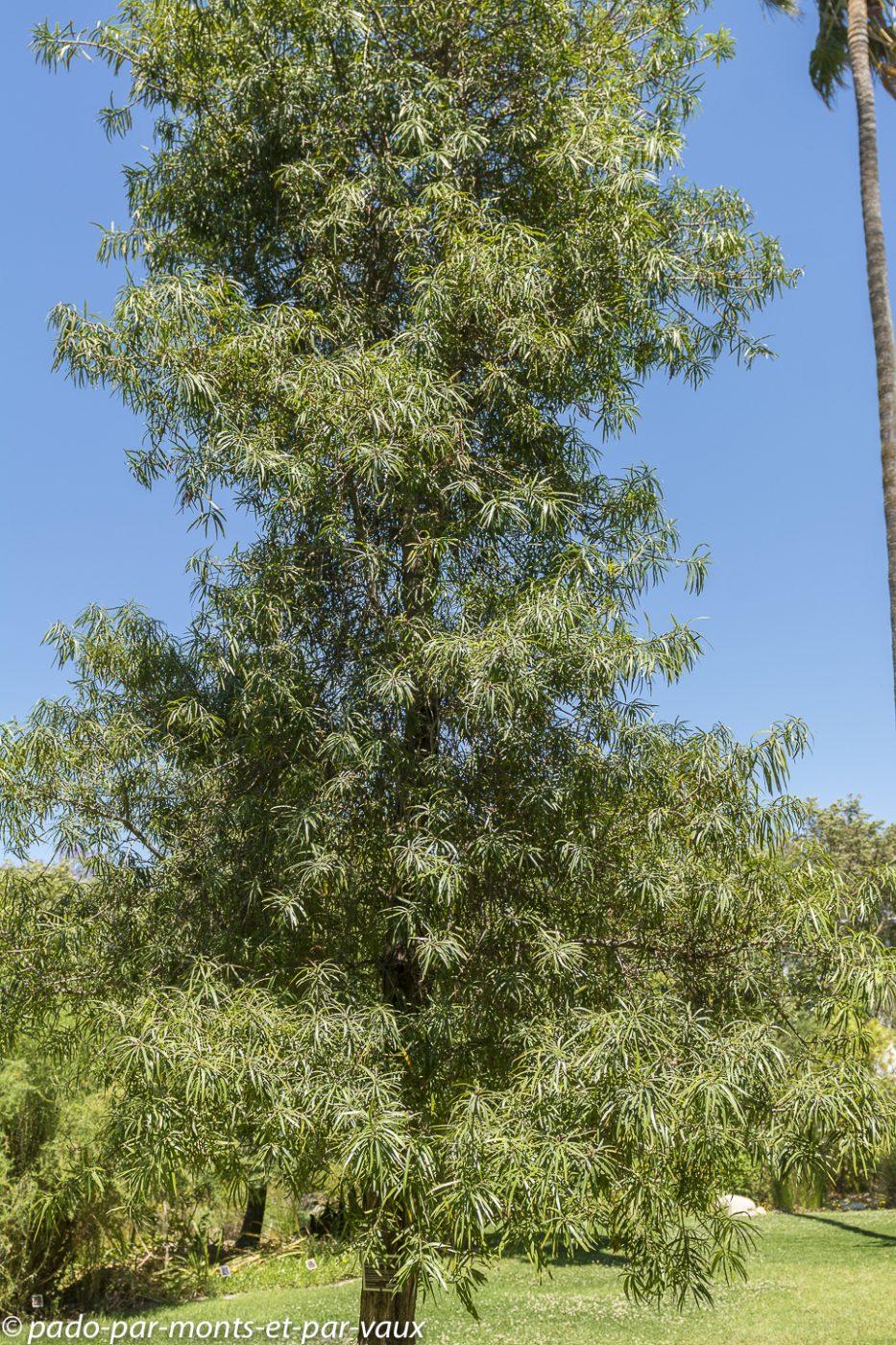 Stellenbosch - Jardin botanique - Podocarpus henkelii
