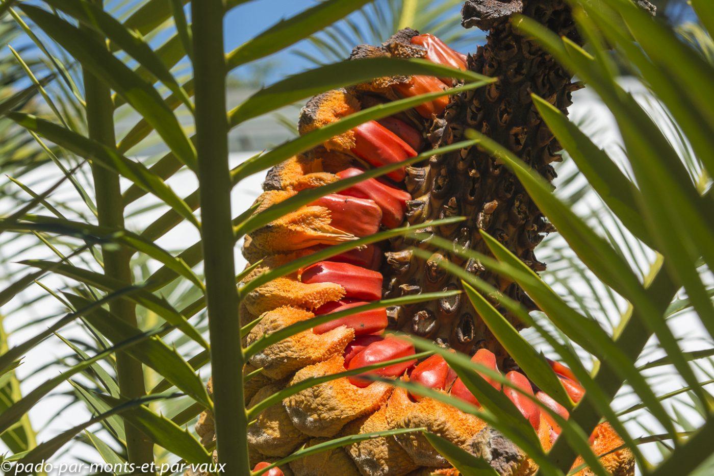 Stellenbosch - Jardin botanique - Cycas