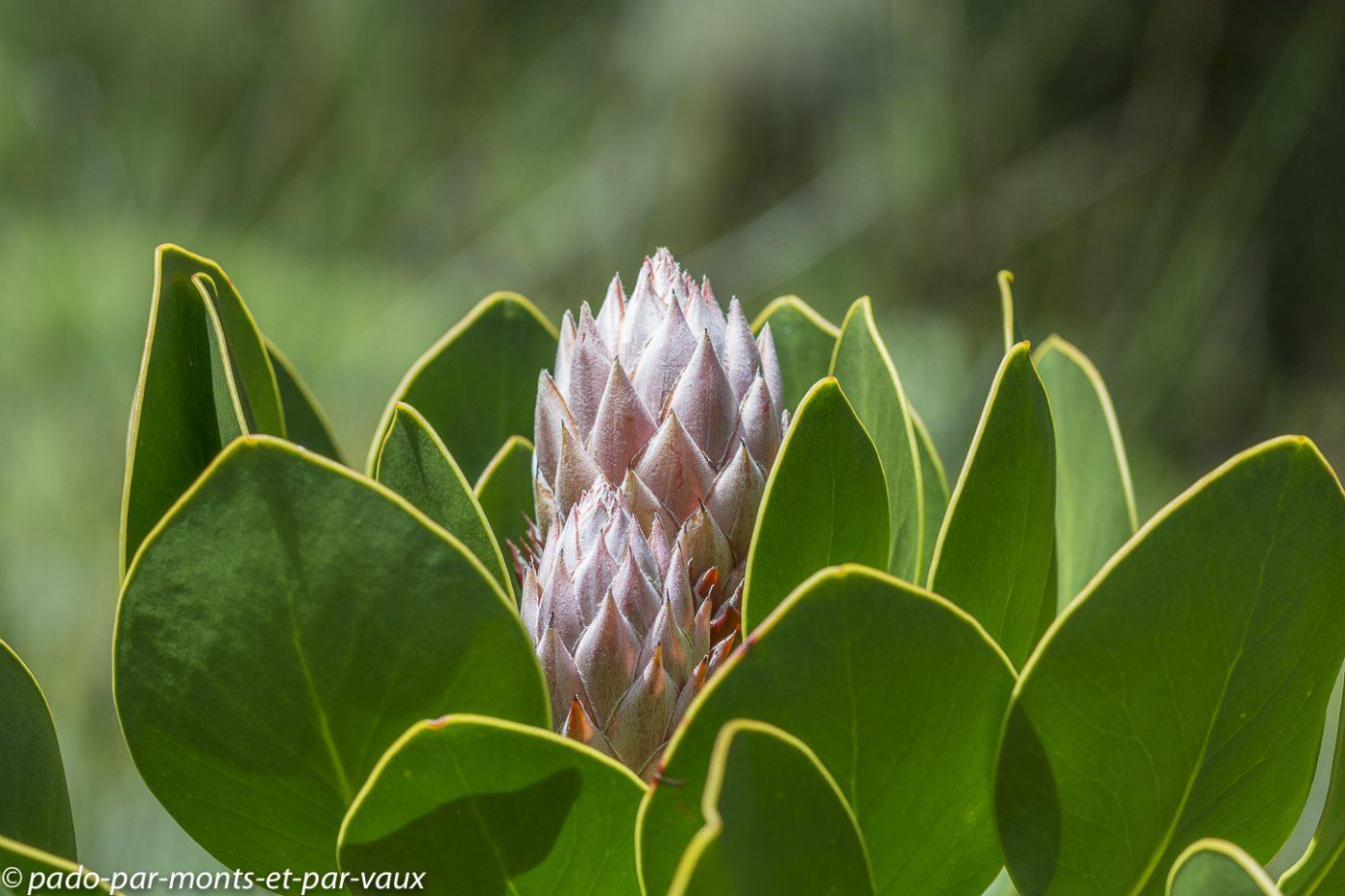 Protée royale (Protea cynaroides)