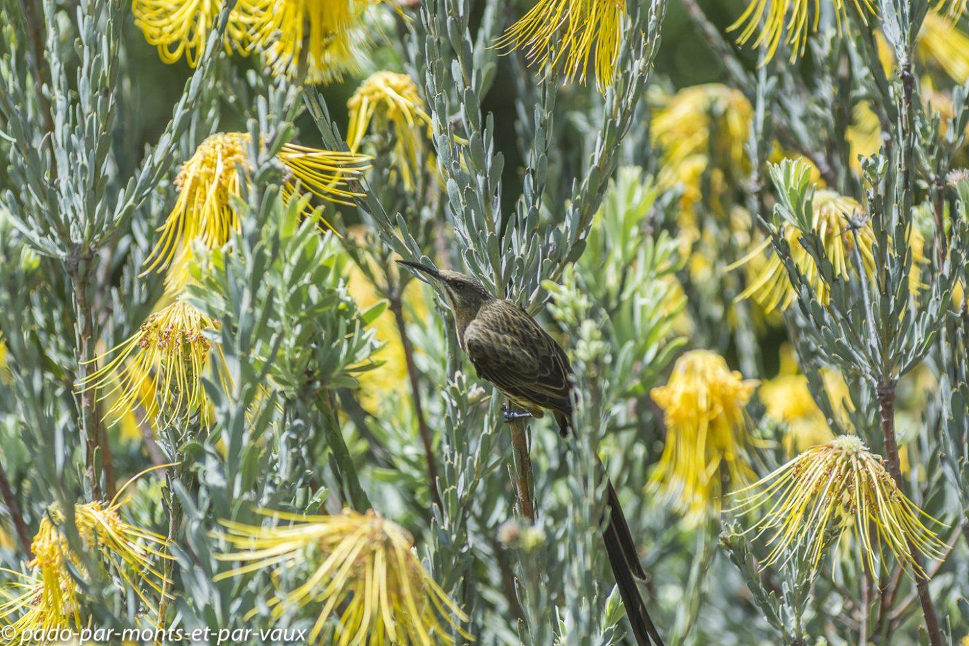 Kirstenbosch garden - Promerops
