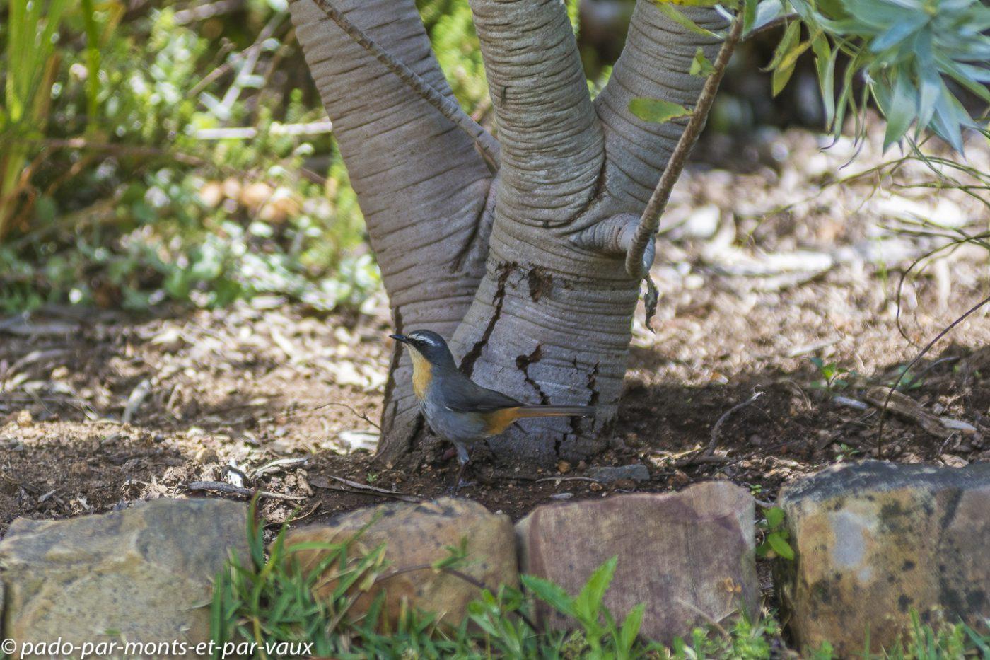 Kirstenbosch garden - Cossyphe du Cap