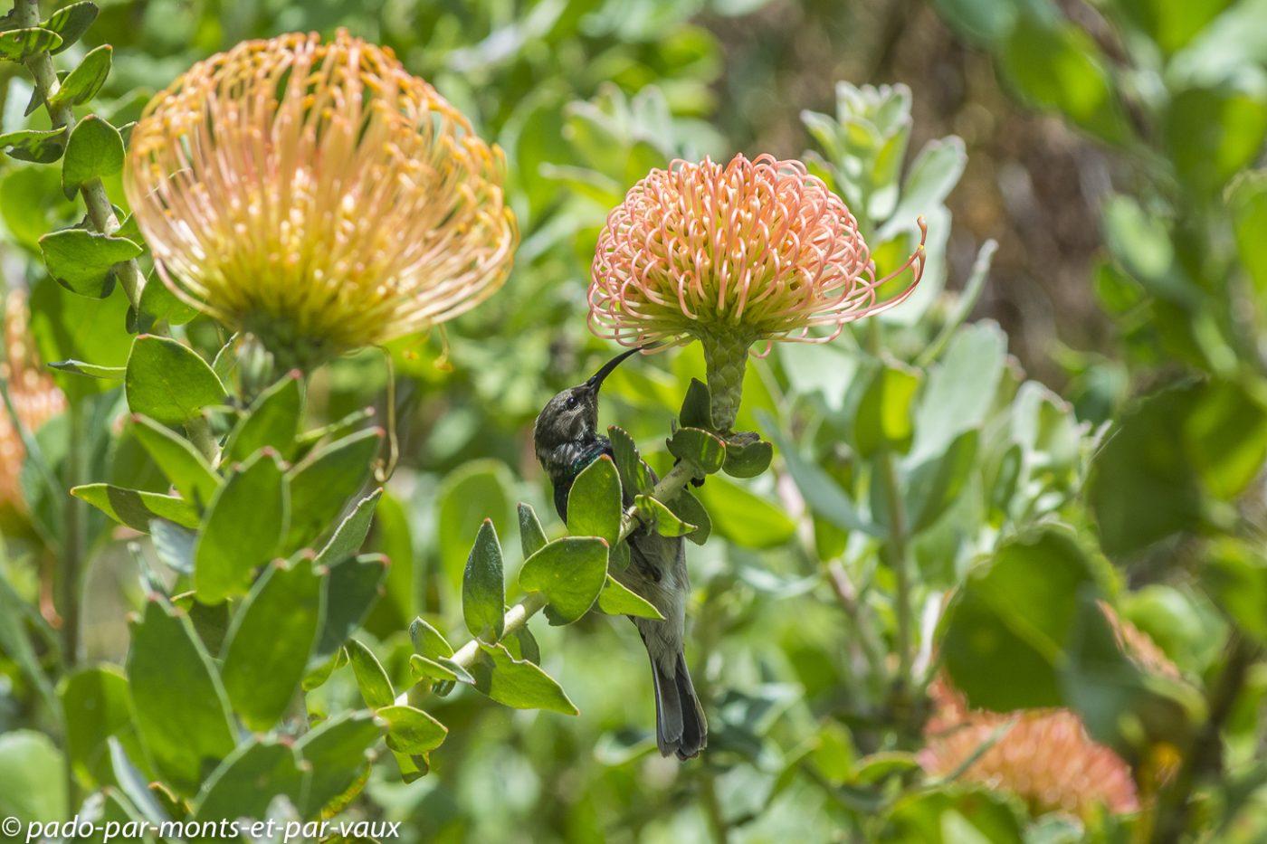 Kirstenbosch garden - Souimanga