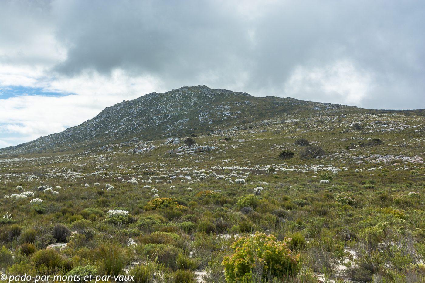 PN du Cap de Bonne Espérance  - Syncarpha
