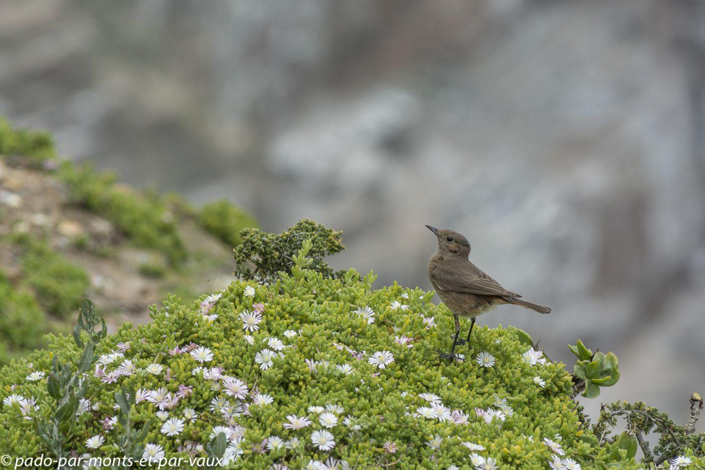 PN du Cap de Bonne Espérance - Cisticole à dos gris