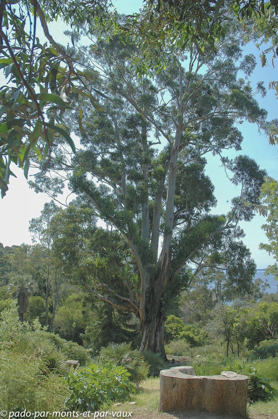 Domaine du Rayol - eucalyptus