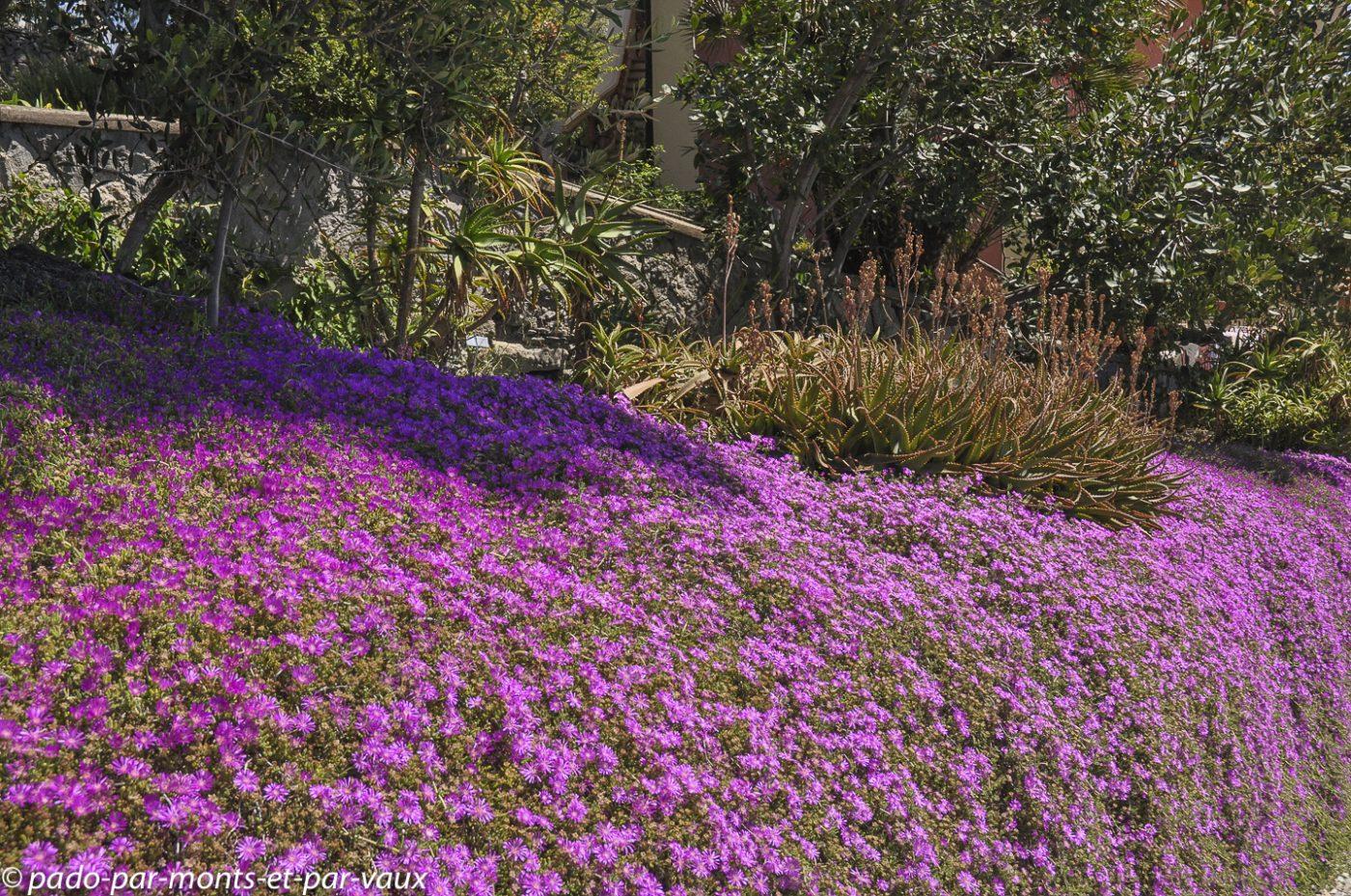Jardin Hanbury - Drosanthemum hispidum