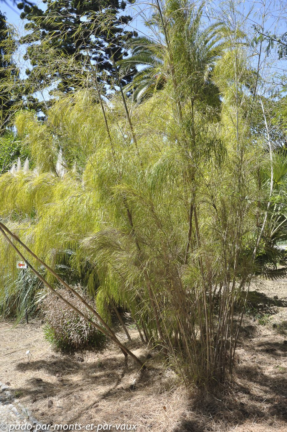 Jardin Hanbury - Otatea acuminata