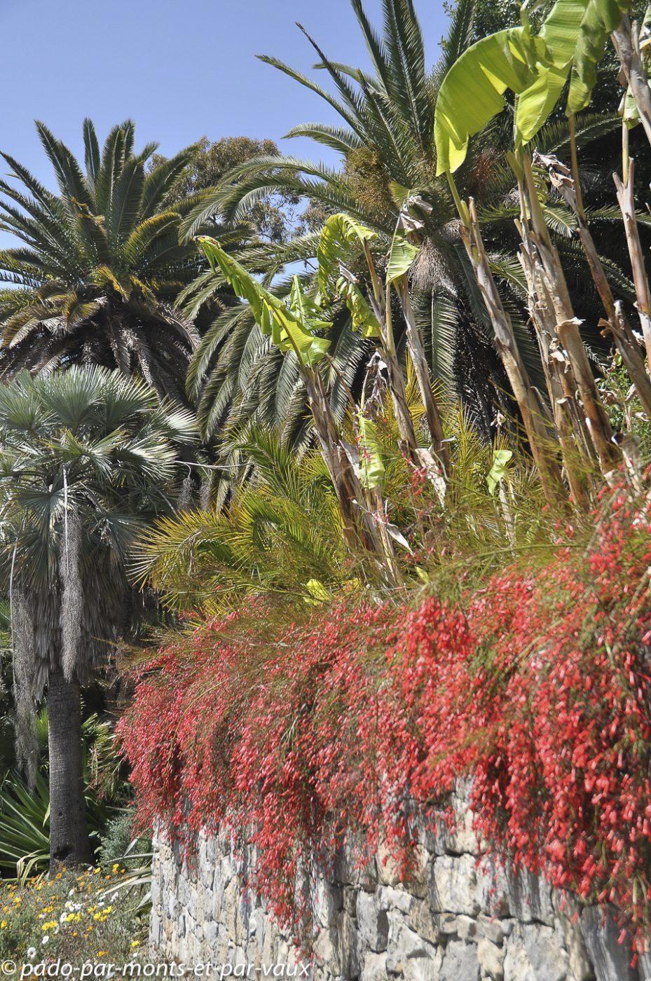 Jardin Hanbury - Russelia equisetiformis
