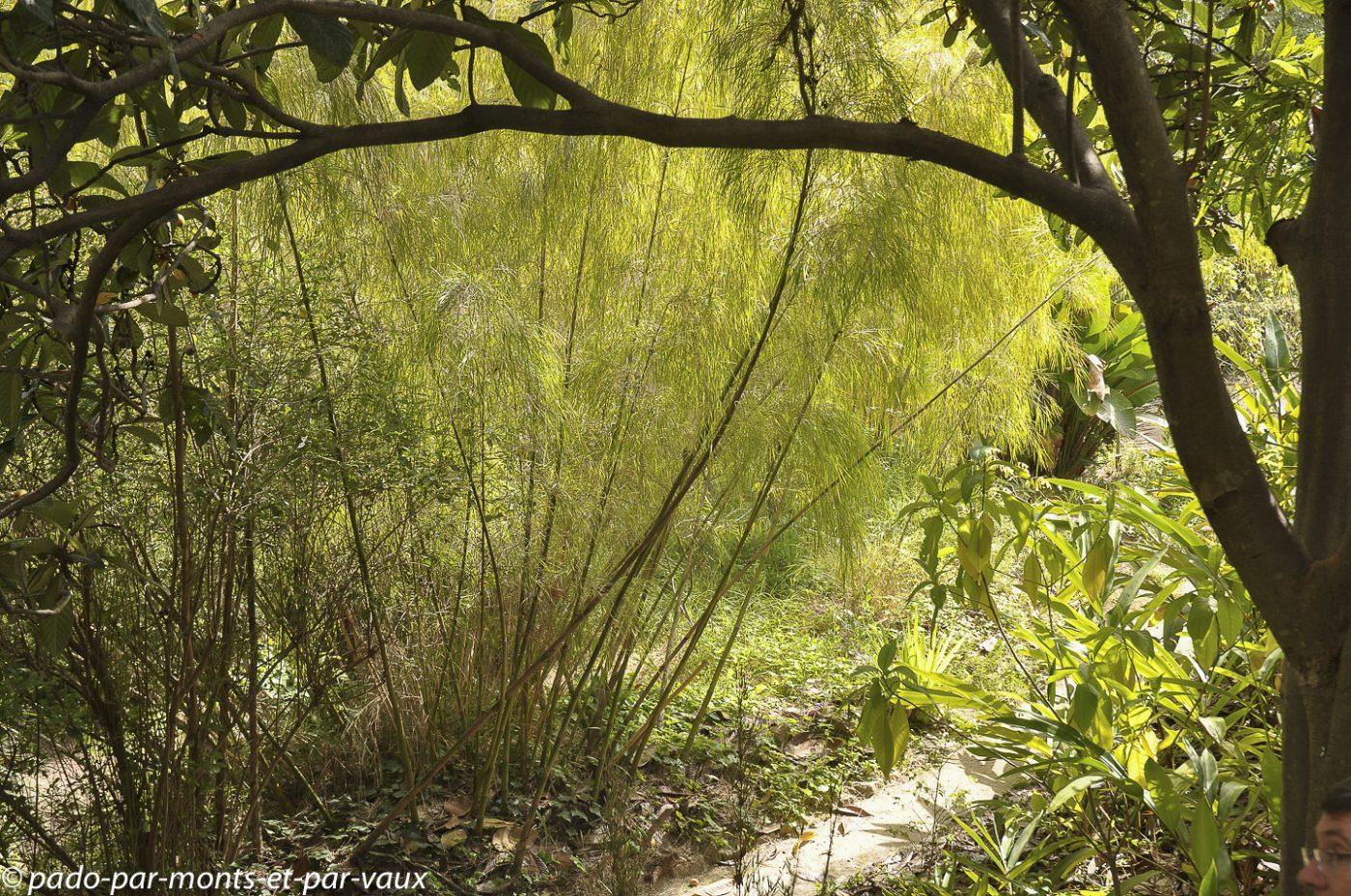 Serre de la Madone - Menton - Otayea acuminata